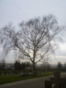 12 Silver Birch_Winter