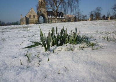 daffodils-peeping