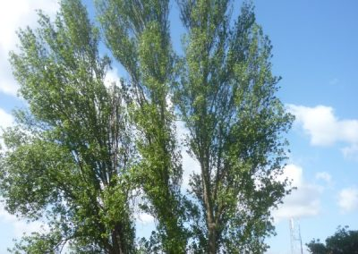 lombardy-poplars-section-x