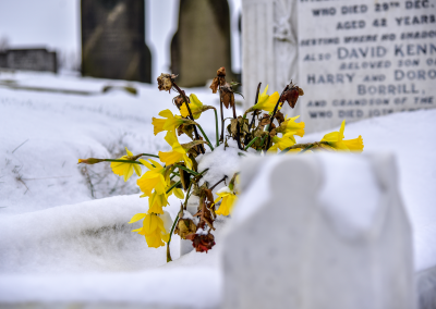 Grave daffodils in the snow